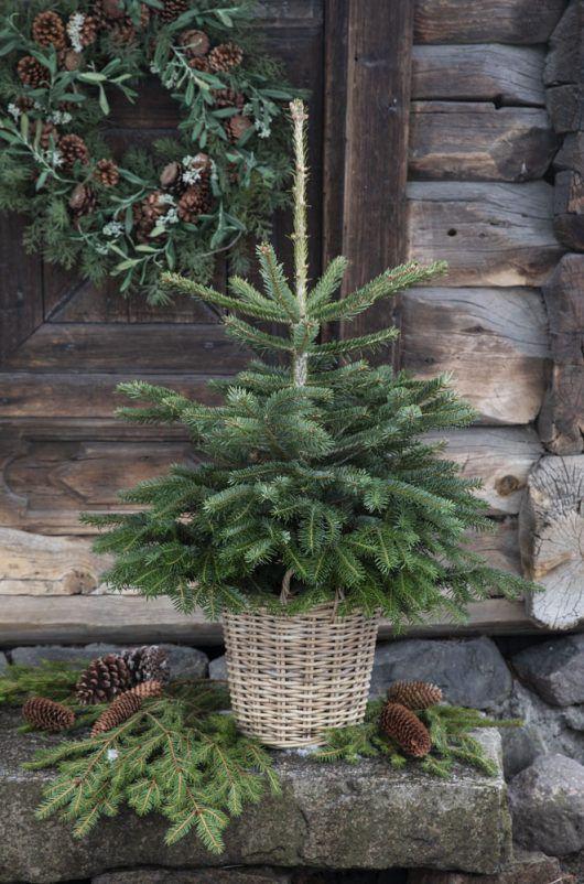 juletre i potte_vintergrønne busker