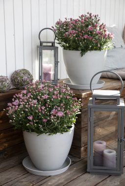 inngangsparti med frilandskrysantemum i rosa_høst
