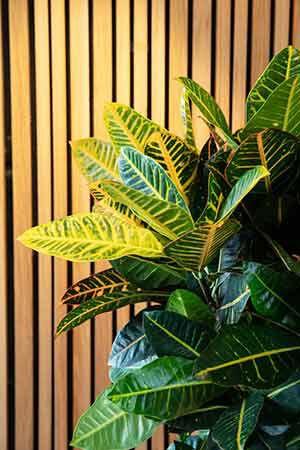 Codiaeum Petra grønn plante