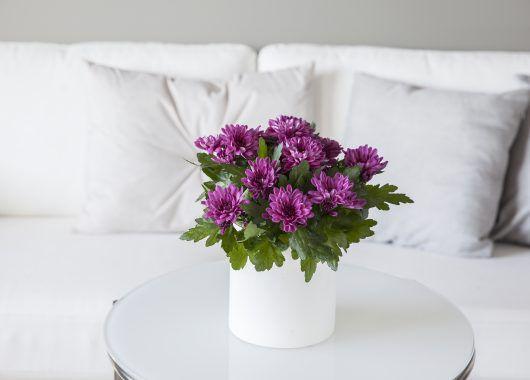 krysantemum er lettstelt og trives best der det er lyst