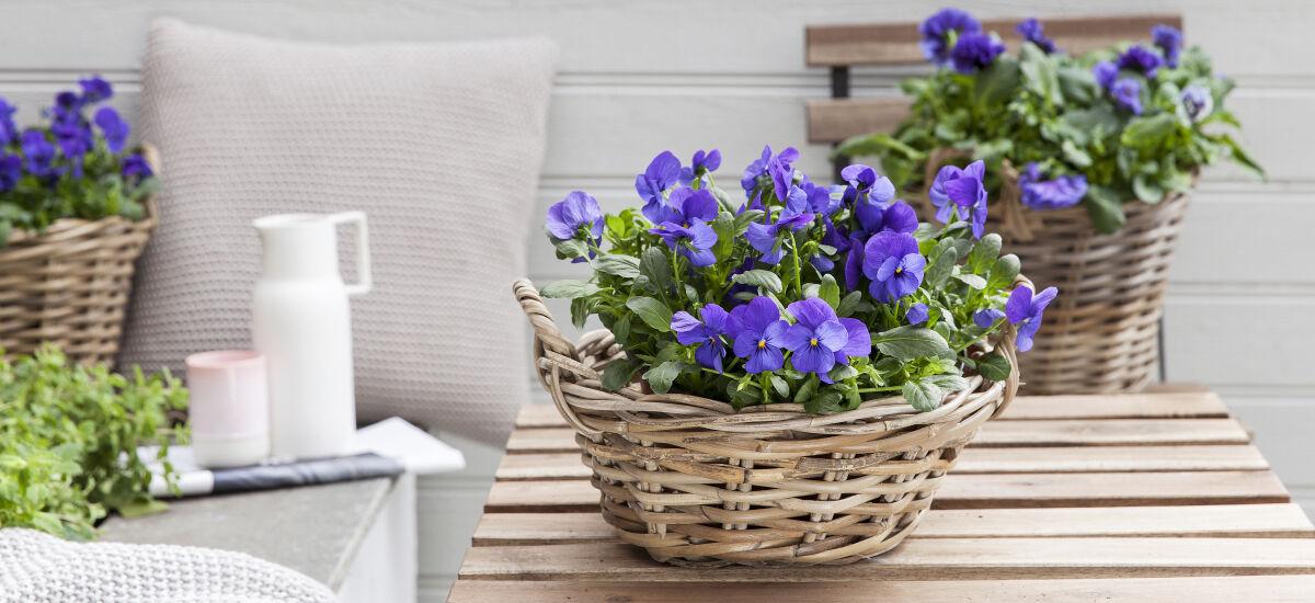 Start våren med viola