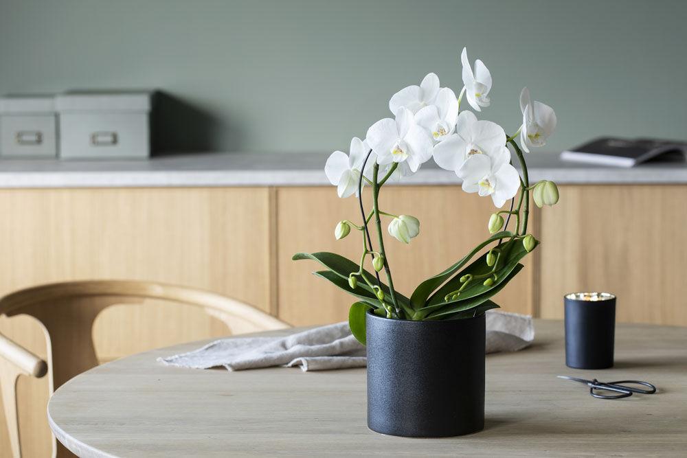 phalaenopsis mirror orkide i glassvase