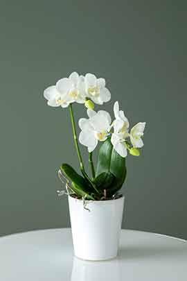 Phalaenopsis midi