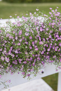Rosa brudeslør i blomsterkasse