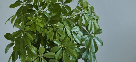 grønne planter schefflera
