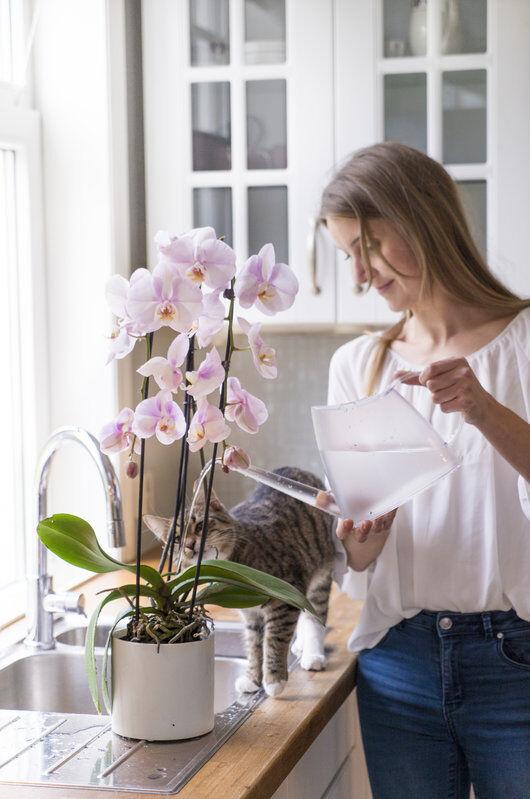 vanning av orkide