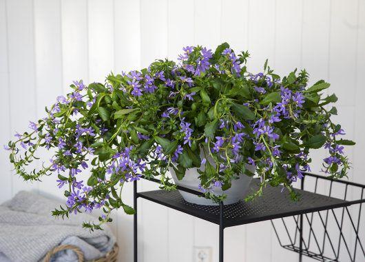 femtunge gir rikelig med blomster når den får tilstrekkelig næring og vann