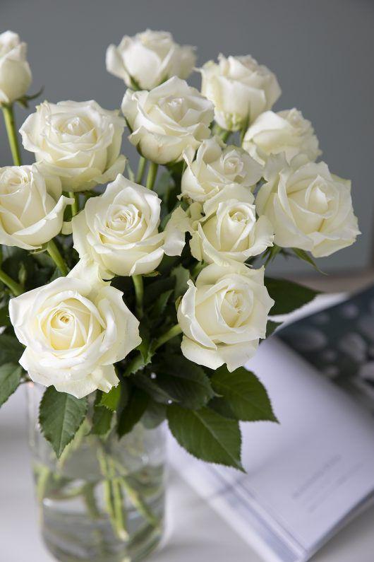 Hvite Icebreaker roser