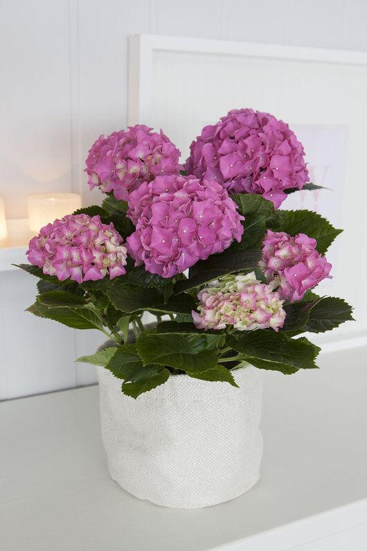rosa hortensia i grow-in selvvanningspotte