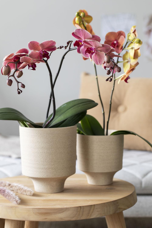 Lilla Phalaenopsis orkide