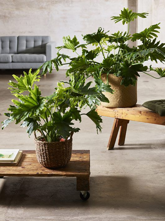 philodendron Selloum_grønne planter