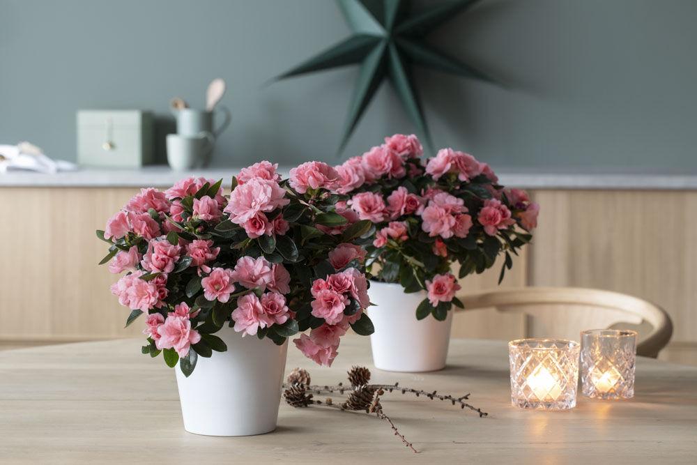 azalea i sart rosa
