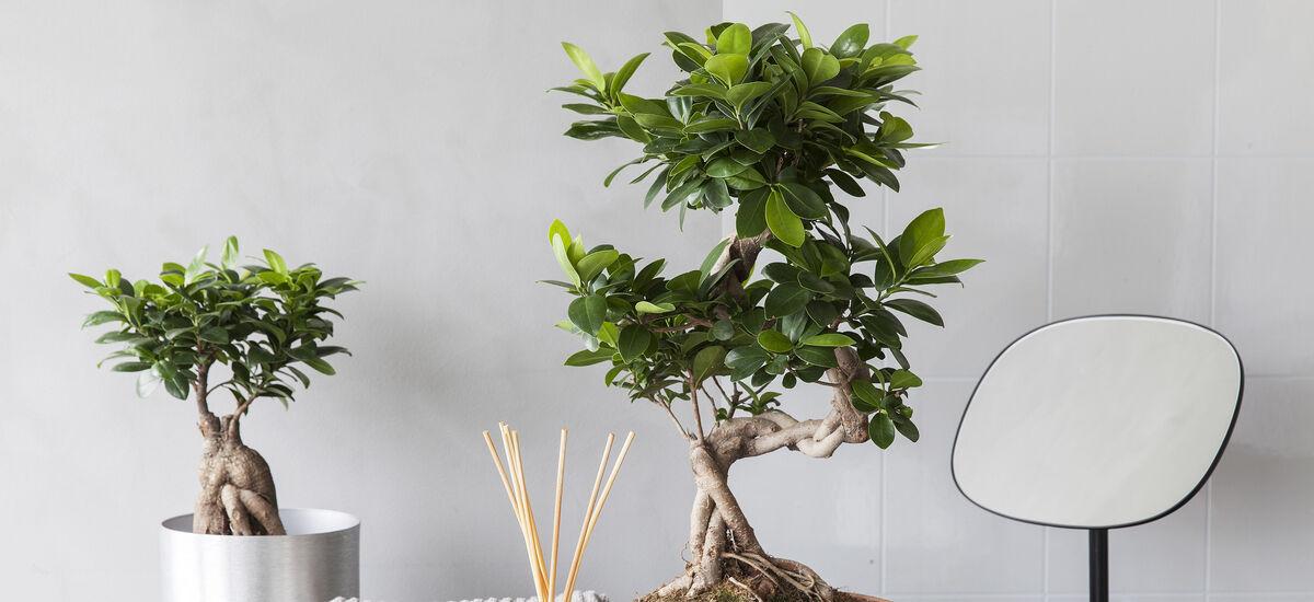grønne planter_ficus ginseng