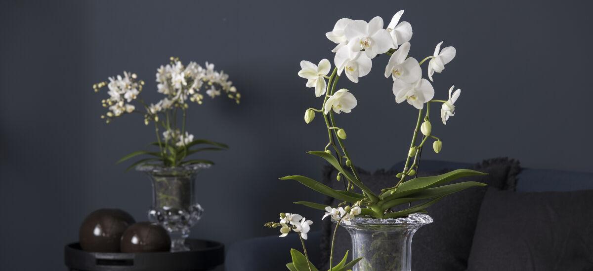 hvit phalaenopsis mirror orkide