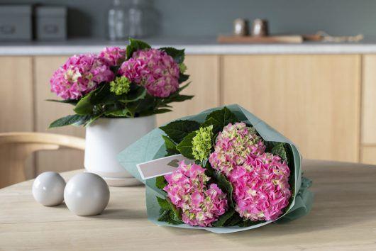 vakre hortensia er alltid populært