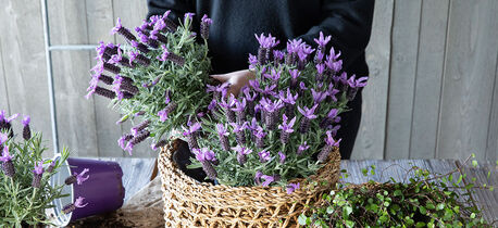 Plant lavendel i en fin kurv