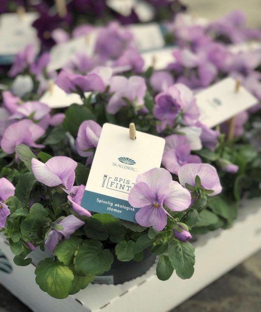 spiselige viola er økologisk og dyrket frem uten plantevernmidler