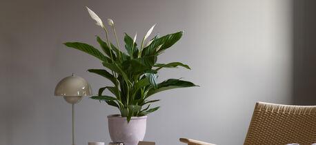 Fredslilje er en lettstelt og dekorativ plante