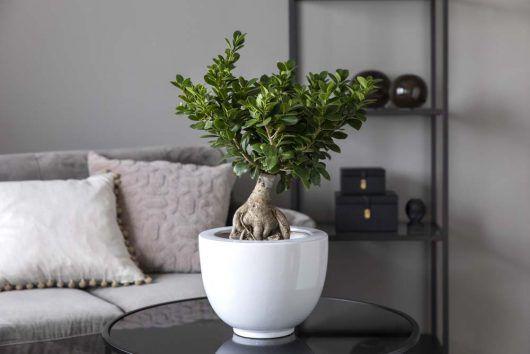 grønne planter_ficus ginseng i miljø