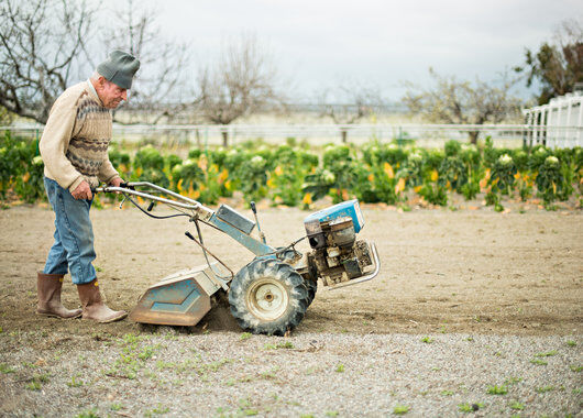 Produksjon av lavendel i Italia.