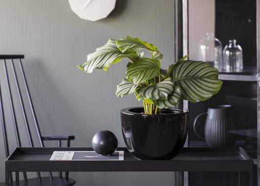 Calathea Orbifolia i stilig Simplicity potte