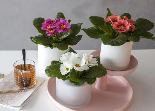 Primula i mange ulike farger