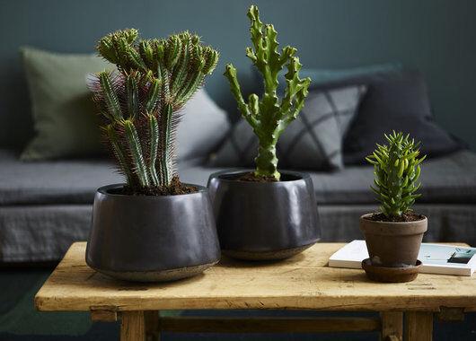 Kaktuser skaper en røff stil hjemme
