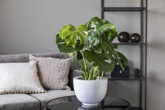 monstera er en populære grønn plante