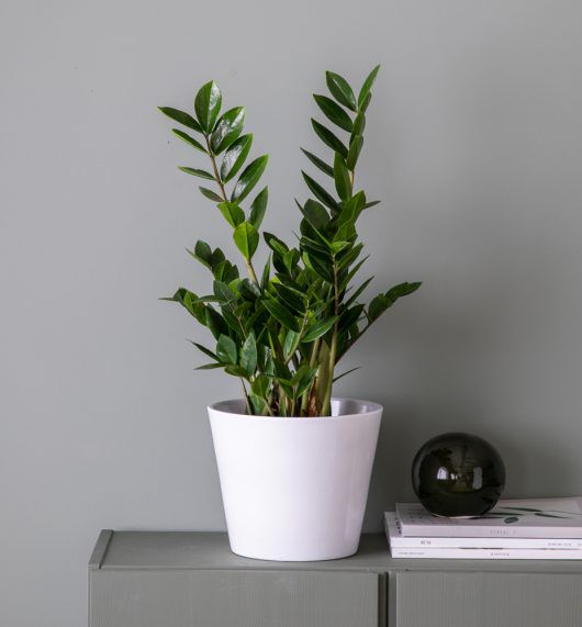 grønne planter zamioculcas