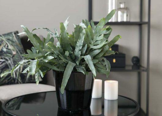 phlebodium_grønne planter