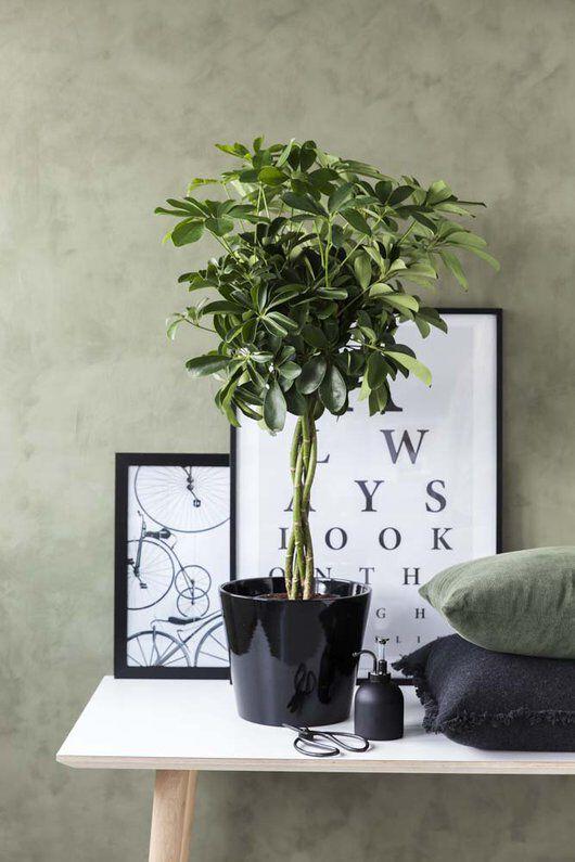 grønne planter schefflera i miljø