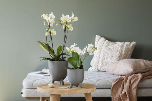 Phalaenopsis orkide i Trippel potte