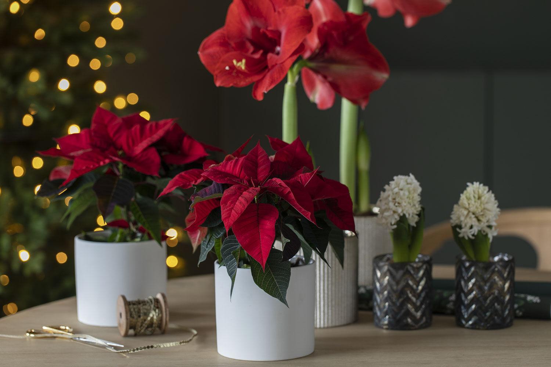 Røde juleblomster