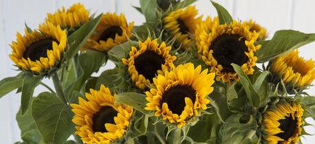 forleng sommeren med solsikker