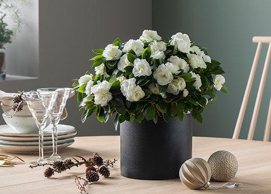 azalea trives best når den får rikelig med lys og ikke står for varmt