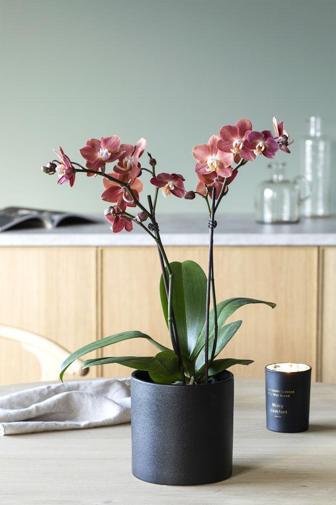 phalaenopsis orkide i miljø