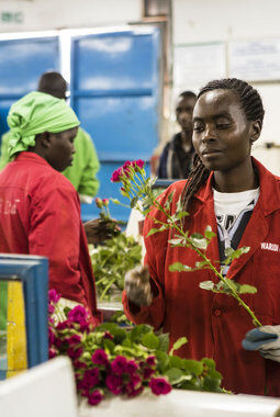 Fairtrade roseplantasje