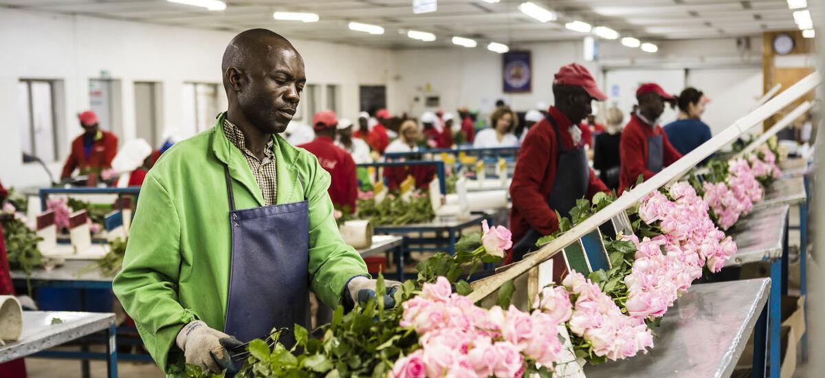 Fairtrade roseplantasje pakkelinje