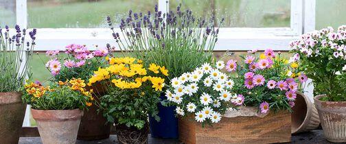 Det finnes mange bievennlige blomster som margeritt, bidens, lavendel, engelsk pelargonia