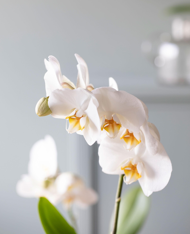 phalaenopsis orkide i glassvase