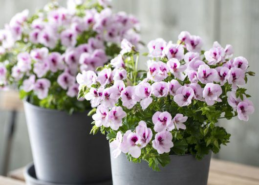 Engelsk pelargonia med sine romantiske blomster er på full fart tilbake i norske hager