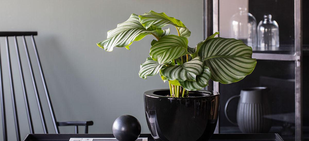 Favorittplanten Calathea Orbifolia