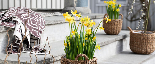 narciss og viola til våren