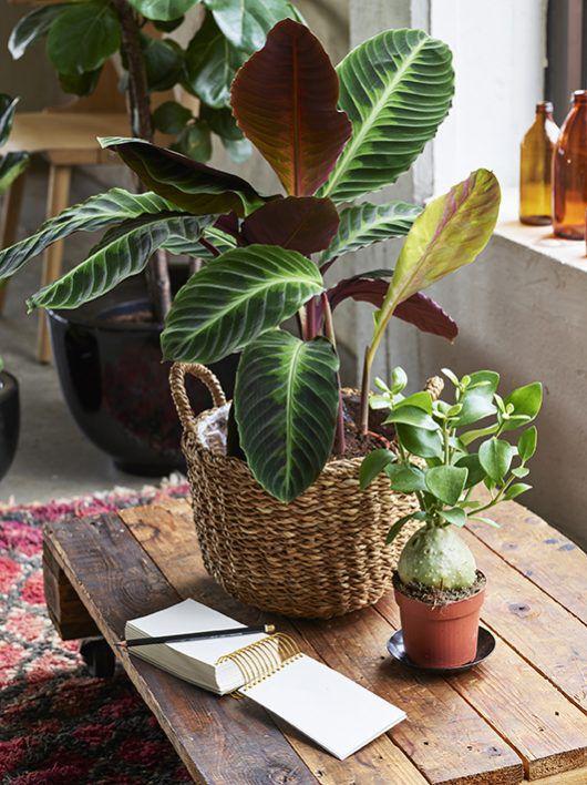 calathea hydnophytum_grønne planter