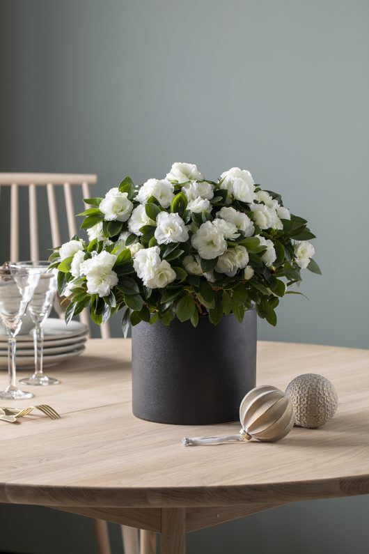 stilig hvit azalea i sort potte