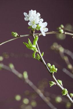 Vakre kirsebærblomster