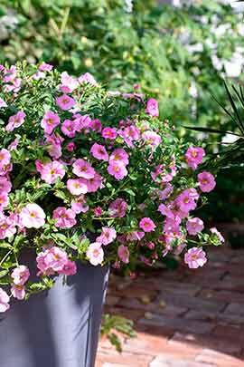 rosa carillion gir raskt en frodig utekrukke