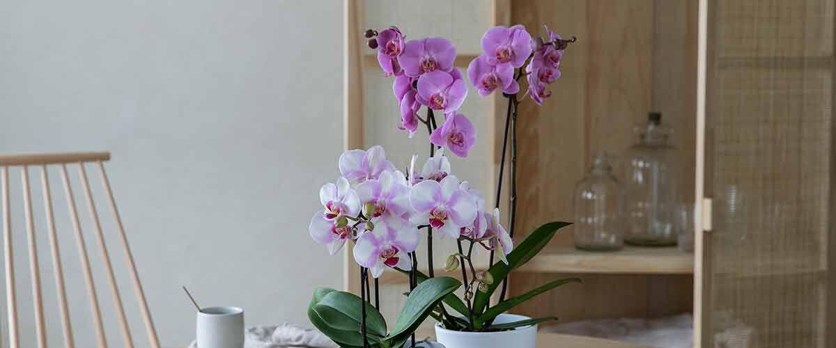 Behandle orkide