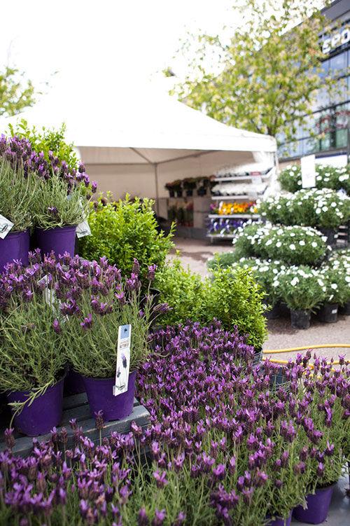 Lavendel på utemarkedet