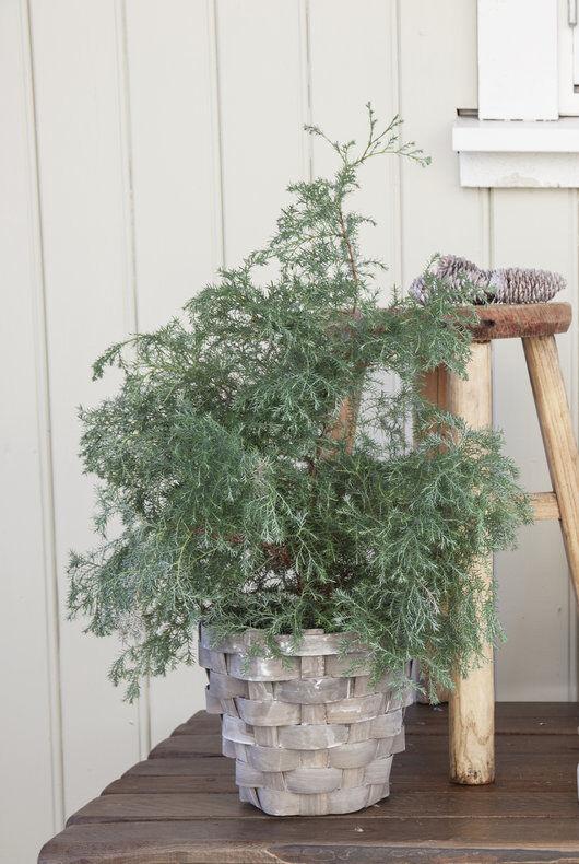 Squarrosa med blålige bar_vintergrønne busker